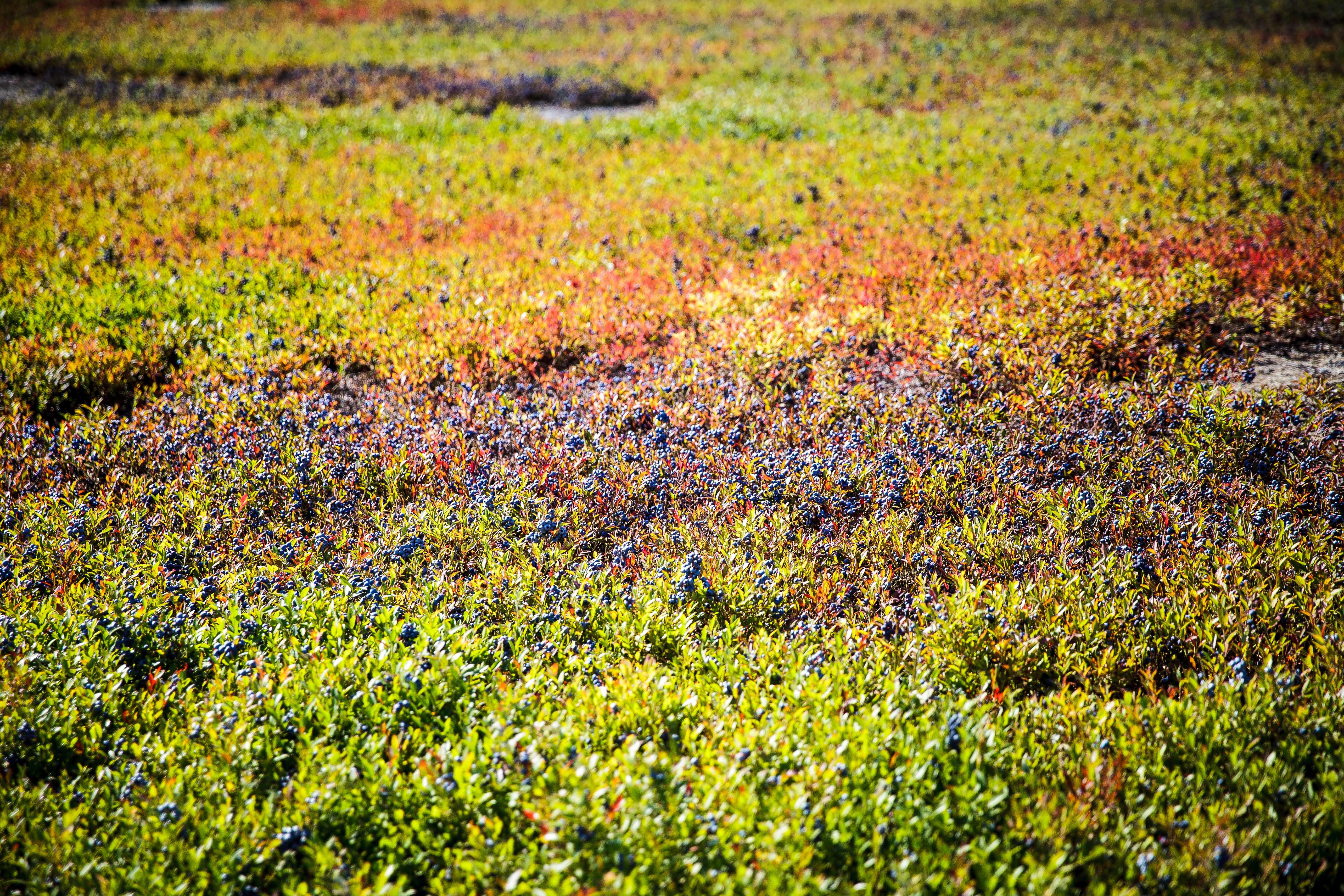 Wilde Blaubeeren Wild blueberry fields Sträucher Heidelbeeren Kanada