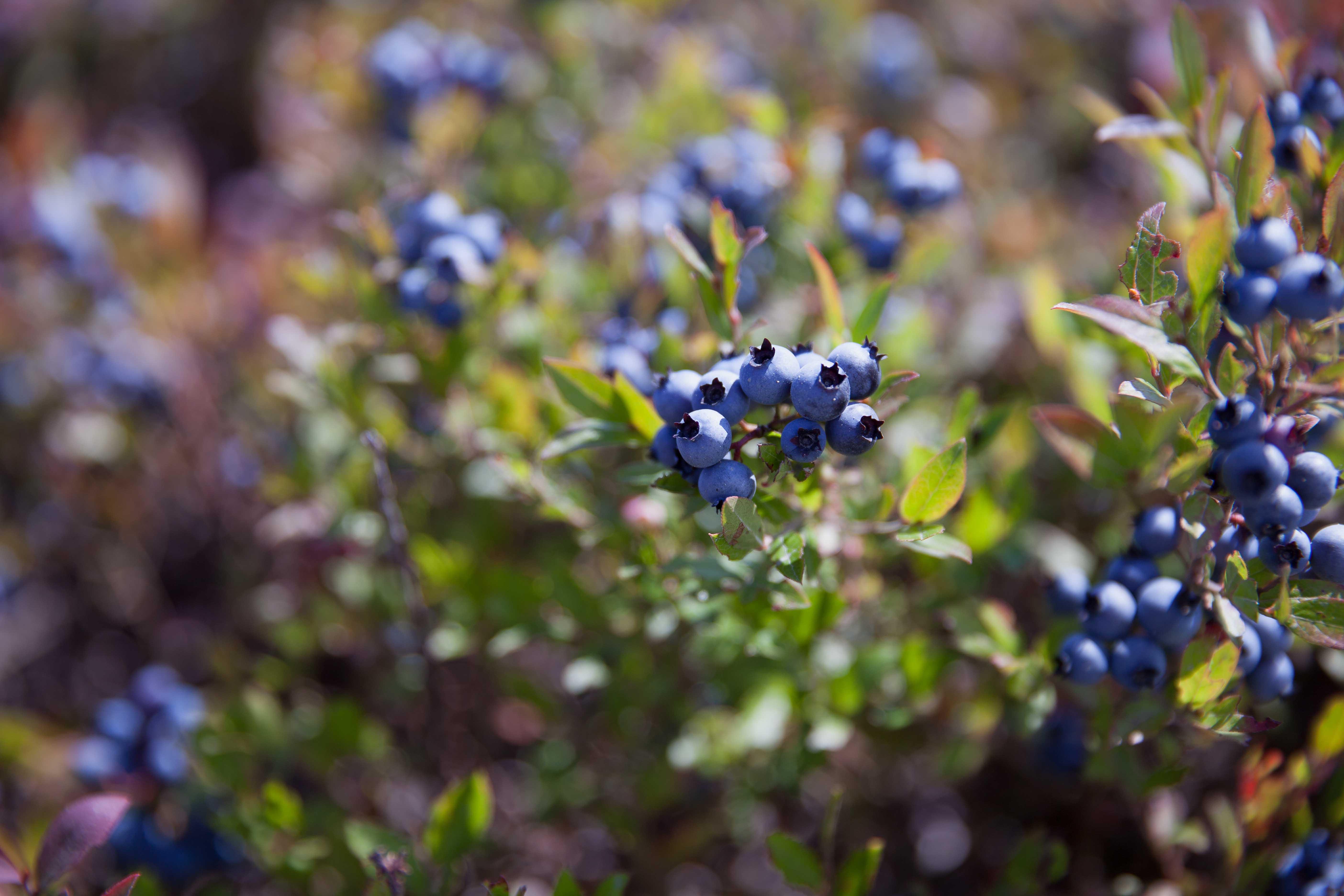 Wilde Blaubeeren Kanada Wild blueberries of Canada Zuckerzimtundliebe kulinarische Reise Wild Blueberries