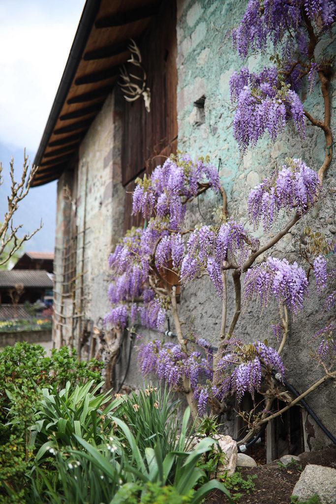 wisteria lana suedtirol reisetipp zuckerzimtundliebe