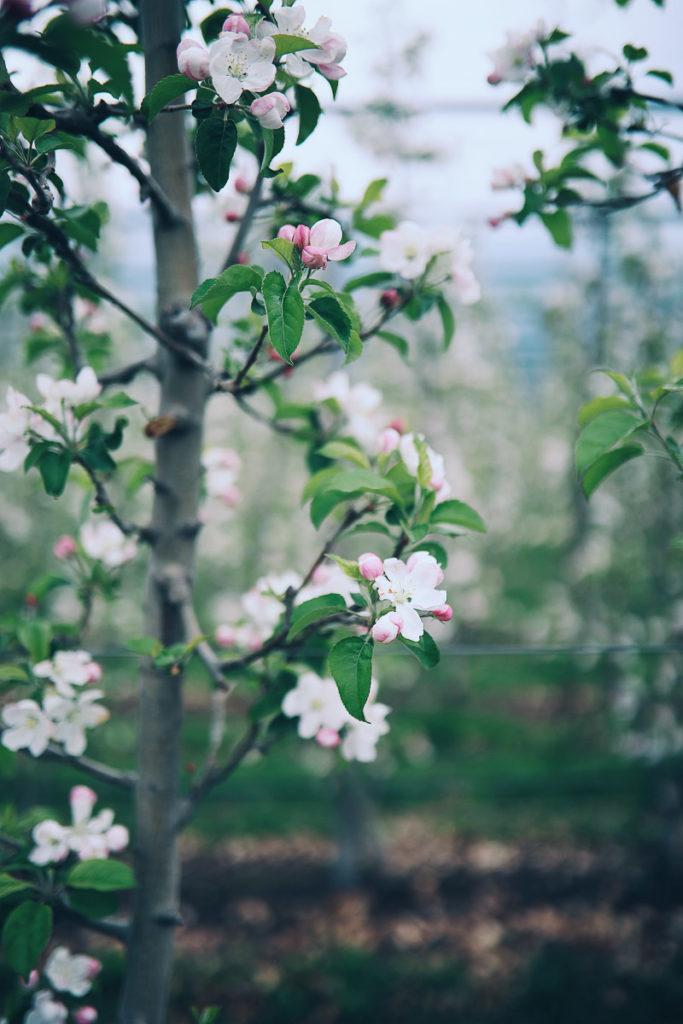apfelbluete lana suedtirol apple blossom alto adige meraner land zuckerzimtundliebe